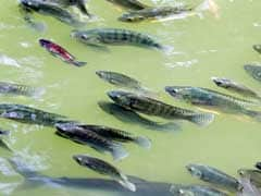 Scientists Identify Deadly Tilapia Virus