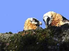 Gay Vulture Couple Adopts Egg In German Zoo