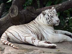 World's First 'White Tiger Safari' In Madhya Pradesh Thrown Open For Public