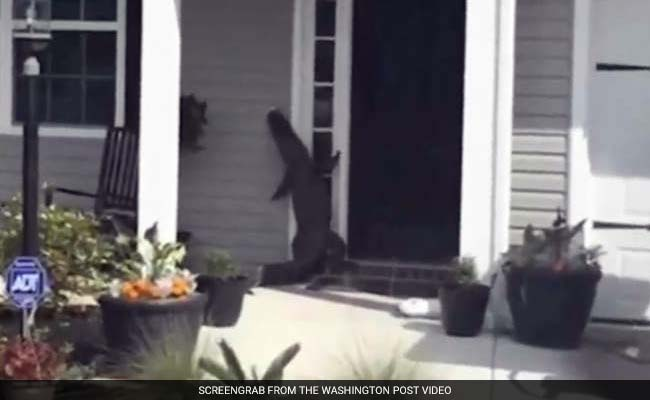 Very Polite Alligator Visits Its Human Neighbors, Tries To Ring The Doorbell