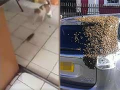 Rat Chases Cat. 20,000 Bees Chase a Car. Social Media be Like 'What?!'