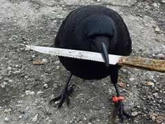 The Odd Story Of A Crow That Meddled In A Crime Scene - By Stealing A Knife