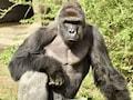 Gorilla Killed After Boy Falls Into Cincinnati Zoo Exhibit