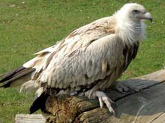 Rare Himalayan Vulture Rescued From Srinagar Released In Dachigam