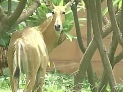 Nilgai Caught After 2-Hour Chase Near Delhi's Most Powerful Office