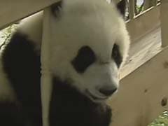 Nothing To See Here, Just 5 Videos Of Pandas Being Totally Adorable