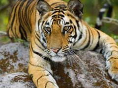 In Mowgli Land, Plans To Cut Over 550 Trees For Tiger Safari