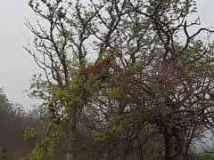Incredible Video Shows Hungry Tiger Perched on Tree to Hunt Monkey