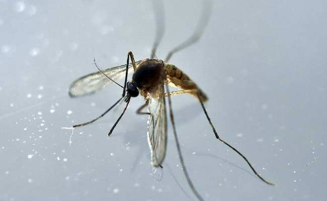 Adult Mosquitoes Can Pass Zika To Their Offspring: Study