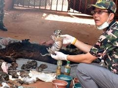 Thai Monks, Who Charged Tourists $17 For Tiger Selfies, Kept 40 Dead Cubs In Temple Freezer