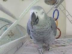 अमेरिका : मौत की गुत्थी सुलझाने में पुलिस ले रही है बोलने वाले तोते की मदद!