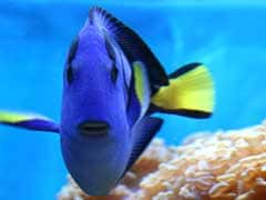 Stop Finding Dory: Welfare Body Tells People Buying 'Blue Tang' Fishes