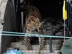 Leopard Fear Spreads In Valparai And Kundadam Villages