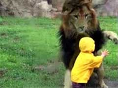 Viral Now: Heart-Stopping Moment As Lion Charges At Toddler
