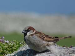 Scientists Warn Of Saltmarsh Sparrow's Possible Extinction In 50 Years