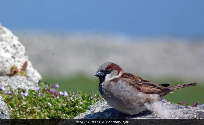When Female Sparrows Cheat On Their Mates, Males Make Sure The Kids Suffer