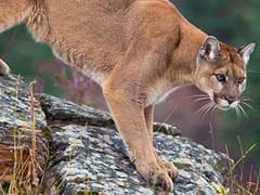 Colorado Mother Fights Off Mountain Lion That Attacked Her 5-Year-Old Son