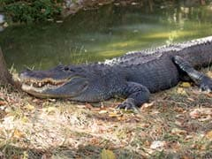 How Zookeepers Gave An Alligator CPR