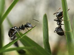 Ants Learnt Farming 60 Million Years Before Humans