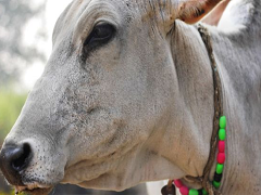 Haryana Plans Identity Cards For Cow Protectors To Weed Out Anti-Socials