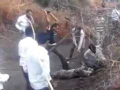 On Camera, Leopard Brutally Beaten To Death By Villagers In Gujarat