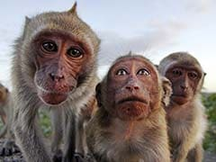 In India's Big Solar Energy Drive, Insurance Policies Against Monkeys