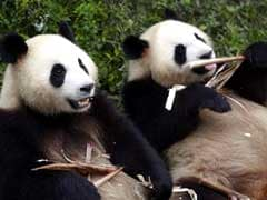 2 Wild Pandas Spotted In Southwest China