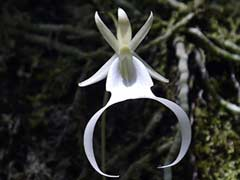 Ghost Orchid Scientists Aim To Restore Rare Florida Flowers