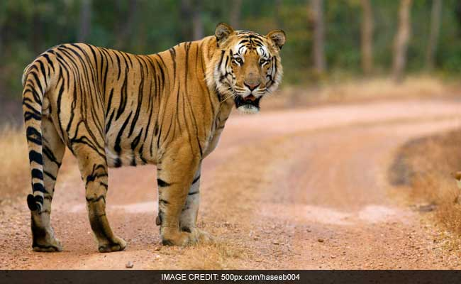 CBI Should Search For Missing, Beloved Tiger Jai, Says Maharashtra
