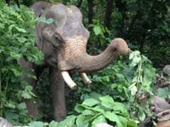 दशकों से बंधक बने हाथी मोहन को आखिरकार जंजीरों से मिली मुक्ति