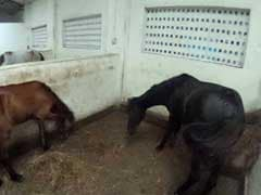 360 Degree View Of Mumbai's Rescued Victoria Horses
