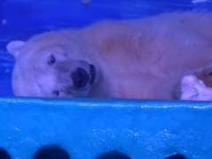 'World's Saddest Polar Bear' Trapped in Chinese Mall Needs Your Help