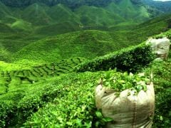 Meghalaya Tea to Compete with Assam, Darjeeling