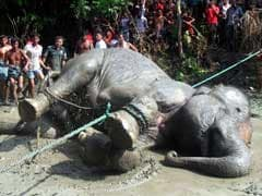 Stranded Assam Elephant In Bangladesh Died Of Heart Failure