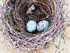 'Baby, It's Hot Outside': Why Birds Sing To Eggs