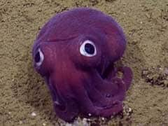 Sea Creature Looks Like A Googly-Eyed Cartoon Octopus