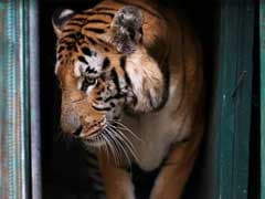 Gaza's Last Tiger Leaves 'The World's Worst Zoo'