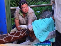 Giraffe Dies 'Of Anxiety' In Latest Taiwan Animal Scandal