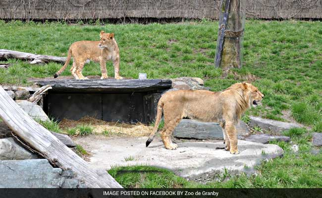 Woman attacked by lion at Granby Zoo should make full recovery: director