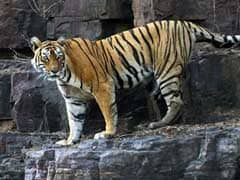 Machali, Ranthambore Tiger With Her Own Facebook Page, Dies At 20