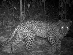 Man-Eater Leopard Gunned Down By Forest Officials In Murbad