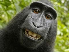 Monkey Gets Another Chance to Claim His 'Selfie'