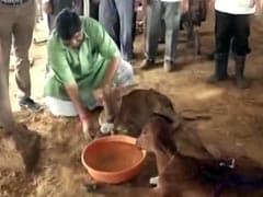 Facing Flak On '<i>Gau Raksha</i>', Minister Feeds Cows At Rajasthan Shelter