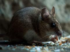 Railways Hire 'Contract Killer' To End Rat Menace
