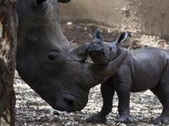 Israeli Zoo Welcomes Newborn White Rhino