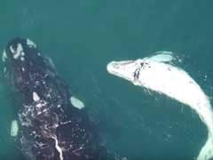 Drones Give Rare Glimpse Into Australian Whales