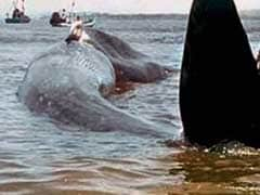 Caught On Camera: 47-Feet-Long Blue Whale Rescued Along Konkan Coast