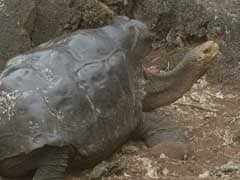 With 800 Offspring, 'Very Sexually Active' Tortoise Saves Species From Extinction