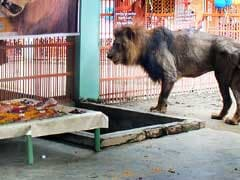 Bangladesh Zoo Throws Wedding For Lions With Meat Cake