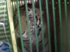 Man-Eater Tiger Which Killed 4 People In 2 Weeks Captured, Sent To Lucknow Zoo